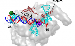 A new mecanism for transcription initiation in M. Tuberculosis